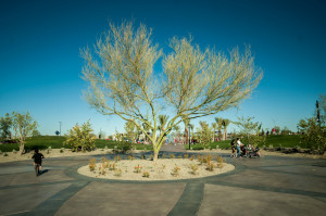 Roundabout walk path with very old desert tree at Mesa Riverview Park in Wrigleyville West area.